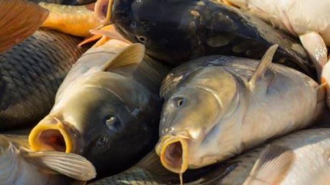 Какая рыба водится в Ярославле